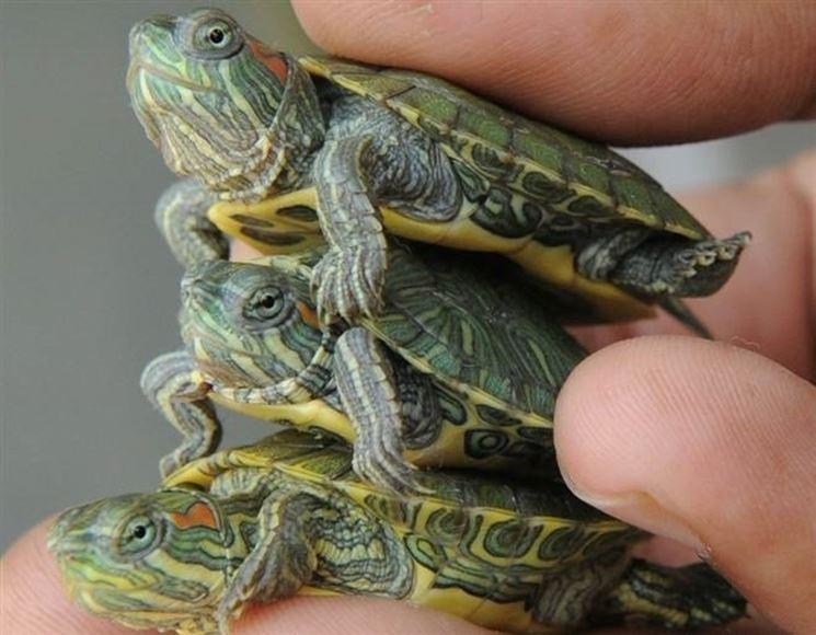 Tartarughe d 39 acqua obbligo di denuncia studio legale for Acqua tartarughe